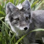 Grey_Fox