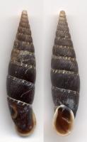 Les Spondylidae - Gray, 1826 380-4