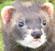 ♥♥♥ Photos et vidéos de Vanille et Chocolat,écureuils Japonais à ventre blanc... et de leurs frères et soeurs poilus ! ♥♥♥ - Page 2 61741