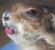 ♥♥♥ Mes petits n'amours de chiens de prairie, avec leurs demi-frères... ♥♥♥ - Page 2 794659