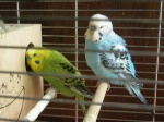 papagoi3