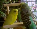 Papagoi14
