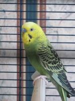 papagoi95