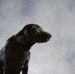 Labradornegro