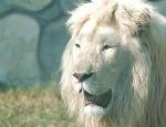 kimba white lion
