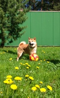Reiko_fox