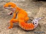 tinctorius/gecko