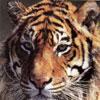 tigrus
