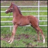 2008 Bay Silver ApHC Filly