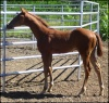 2008 Chestnut AQHA Appendix Gelding  *** Silver Carrier *** (Champs Guthrie  x  Larks Reason To Be)