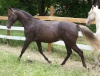 2008 Smoky Black Silver QH/Mustang Filly (Champs Guthrie  x  Miracles Can Happen)