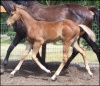 2008 Brown Silver AQHA Appendix Filly