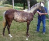 2008 Black Silver QH/Draft Filly