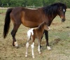 """Flower"" - 2 + hours old.  Silver bay tobiano filly w/ her bay dam.  1/2 shetland, 1/4 Arab, 1/4 Hackney pony."