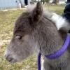 """Cupid"" - shetland pony colt.  Black silver, minimal tobiano.  Pic @ 20 hours old."