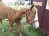 Just Gemma  Silver Bay PHAA reg 2010 filly by Justa Cowboy out of bay TB mare.