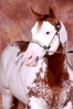 Justa Cowboy Chestnut Overo Stallion tested nZ for the Silver Gene. has two silver positive foals  located in Australia