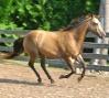 2005 Foundation AQHA mare, silver buckskin