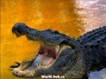 تمساح وما مرتاح