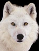 le grand gentil loup