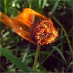 Dandy Blaze