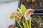 Utricularia 10-7