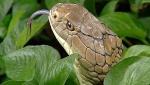 Snake_bln