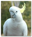 carlcockatoo