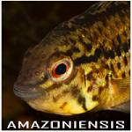 Amazoniensis