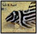 Seb_aure