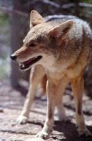 firstcoyote