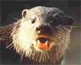 Otterwhisker