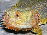 Reptilian PB