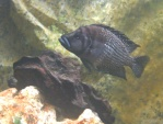 imperial-fish