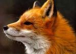 foxesport
