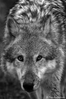 Freewolf