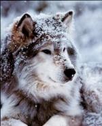 Khonsuwolf
