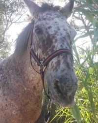 Culotte_de_cheval