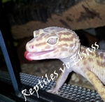 Reptiles vo Elsass