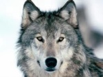 silverwolf7