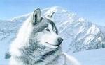 shastawolf