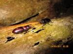 S.Beetle