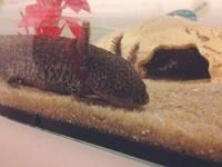 Lilo L'Axolotl