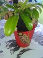 PlanteNivor72