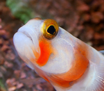 Goby03