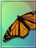Etoile de Papillon