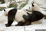 PandaGay