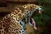 Jaguar_Flemmard