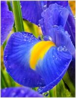 Irisblu