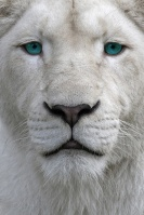 Leon Albino Diamante